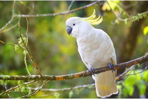 Komodo's Cockatoo