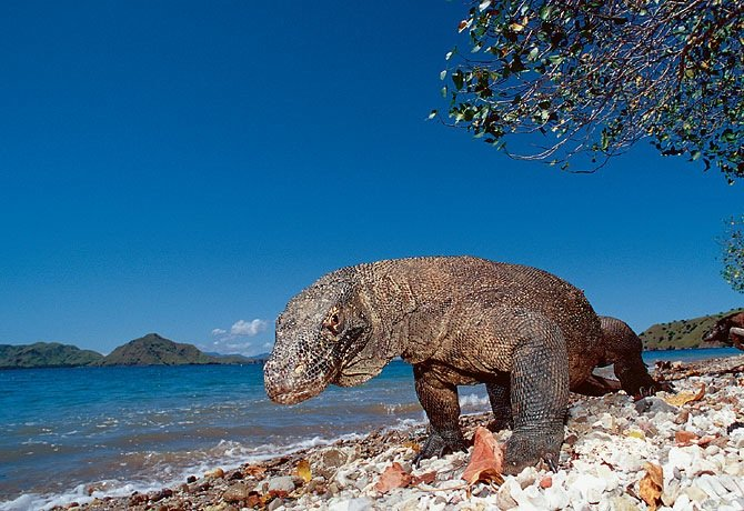 Fun, Frightening Facts About The World's Largest Lizard