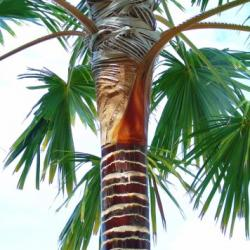 The Life-Giving Lontar Palm